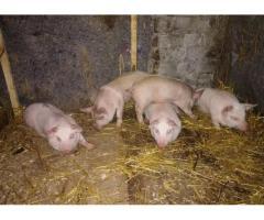 Продам свинью