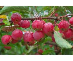 Саженцы декоративных яблок сорта