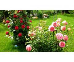 Продаю кусты роз